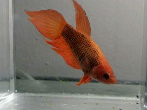 a female with unusually fan like fins
