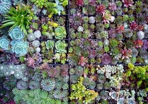 succulent_array
