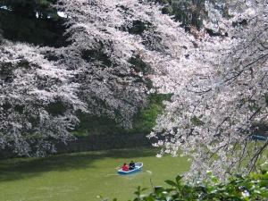 japan-cherry-blossom-festival