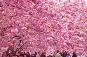 japan-cherry-blossom-season