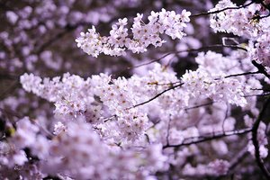 japans-cherry-blossom-festival-my-experience-21320481