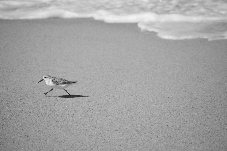 little sandpiper