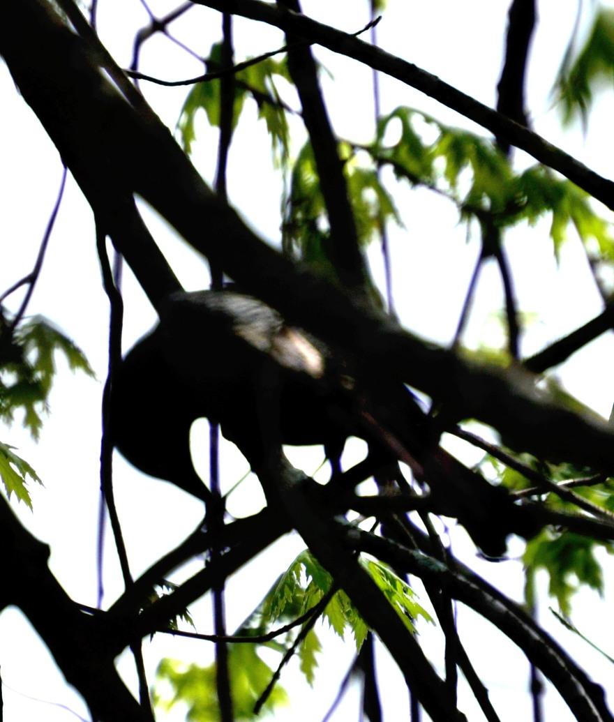blackbirdbent