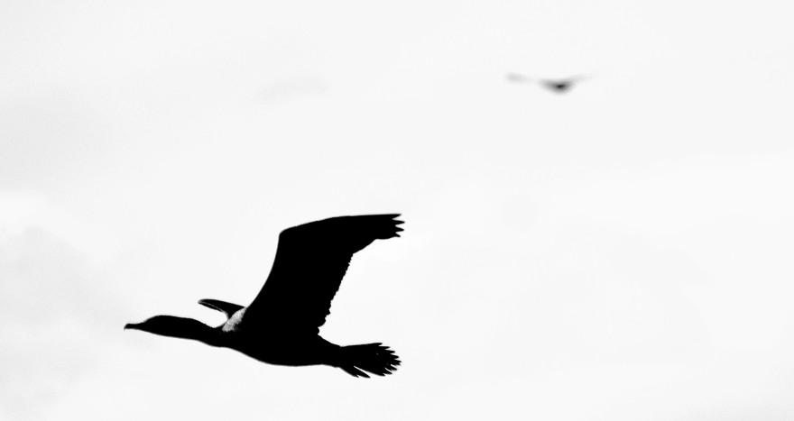 bwcormorantinflight