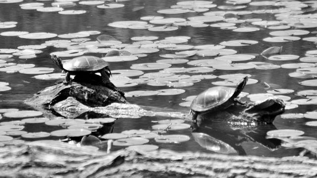 turtlecharcoallike